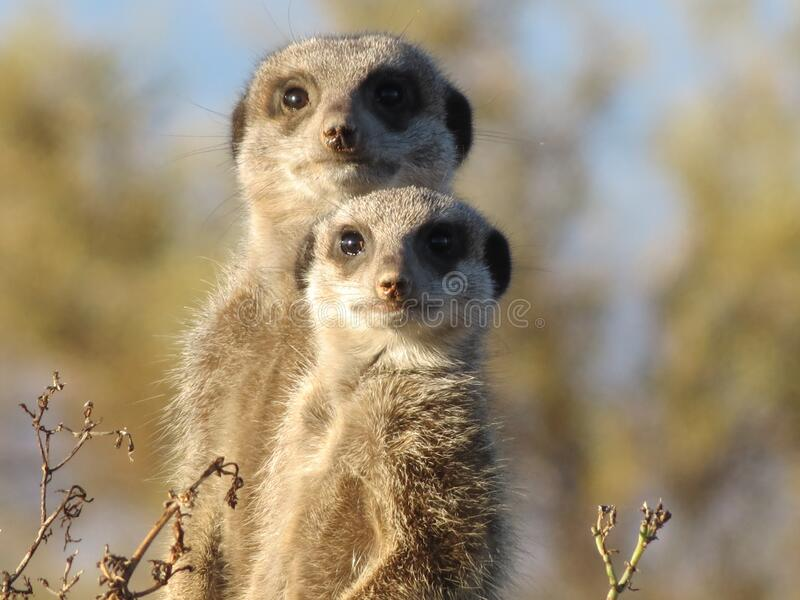 Brown and Gray Meerkat in Macro Photography stock images