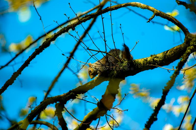Brown and Gray Squirrel on Brown Tree Branch royalty free stock image
