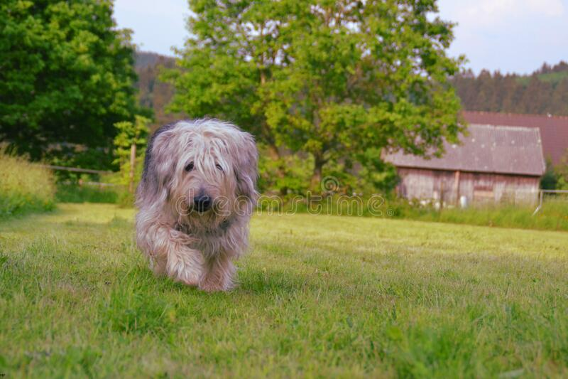 Brown Gray And White Hairy Medium Size Dog Walking On Green Grass Field During Daytime Free Public Domain Cc0 Image