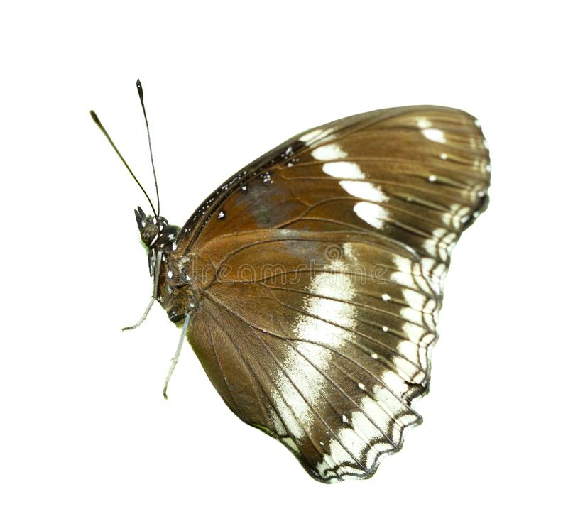 Brown Great Eggfly Hypolimnas bolina butterfly isolated stock image