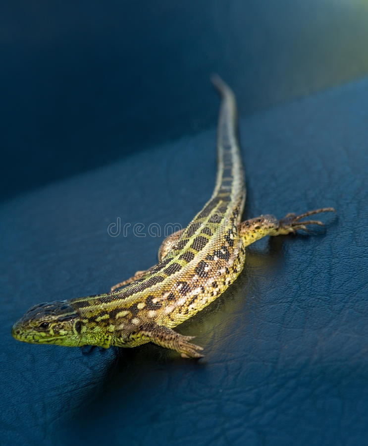 Brown and green lizard. Brown and green striped lizard stock images