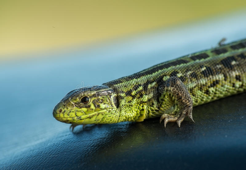 Brown and green lizard. Brown and green striped lizard stock photos