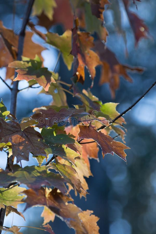 Brown and Green Maple Tree Leaves royalty free stock images