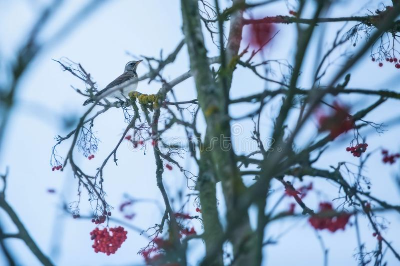 Brown, grey and white colored thrush bird, fieldfare. Turdus pilaris, a winter visitor, sitting on a twig of a rowanberry tree with red berries, cold winter royalty free stock image