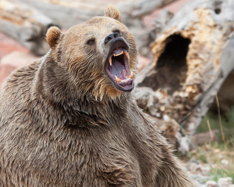 Brown Grizzly Bear royalty free stock image