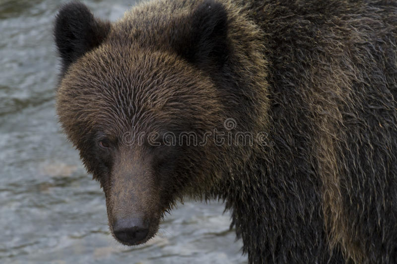 Brown Grizzly Bear at Hannah Creek in British Columbia. Beautiful, damp grizzly bear turns in currents of Hannah Creek in British Columbia. Location is on royalty free stock images