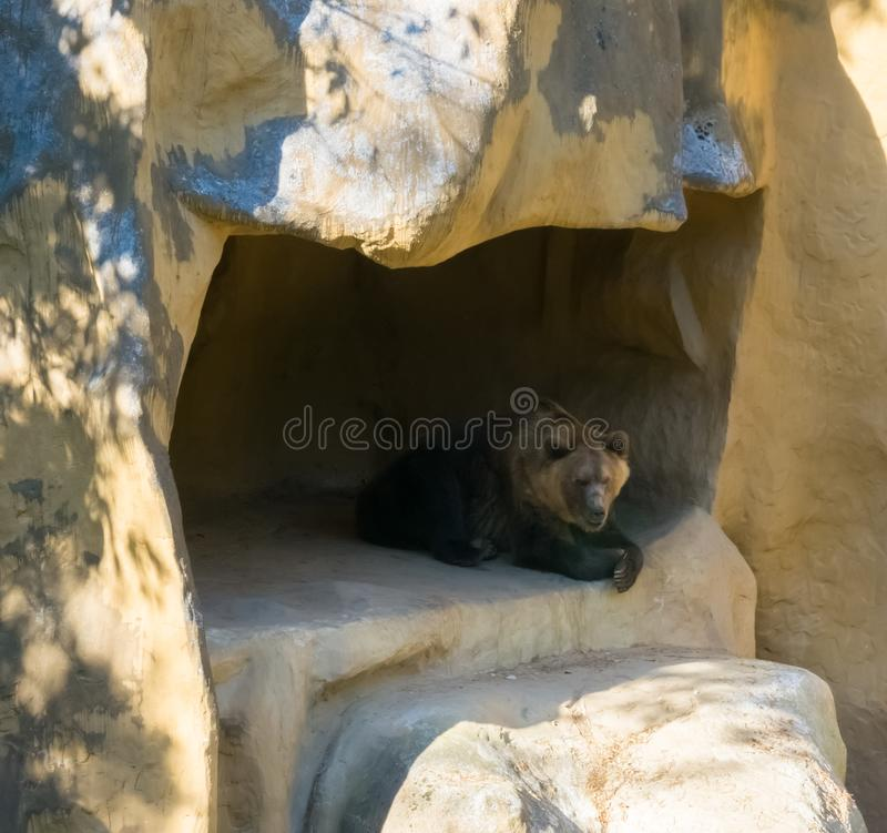 Brown grizzly bear sitting in his cave home in the mountains animal wildlife in nature environment. A Brown grizzly bear sitting in his cave home in the stock images