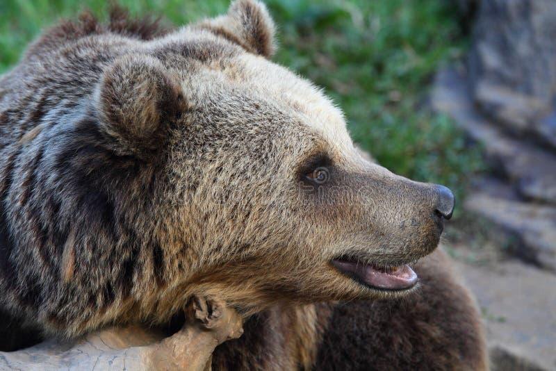 Brown grizzly niedźwiedź zdjęcia royalty free