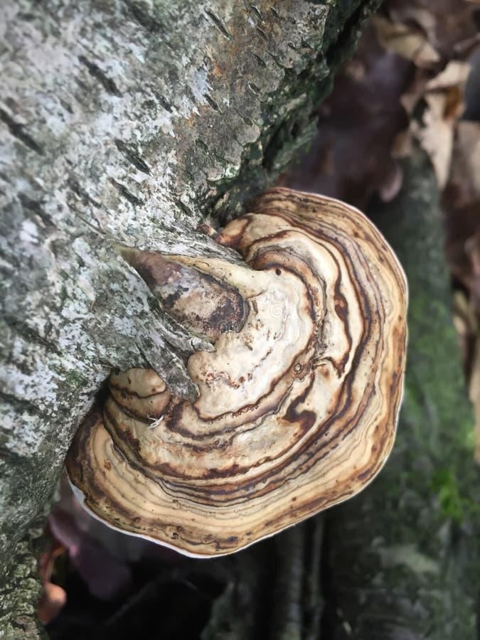 Brown grzyba pieczarki dorośnięcie na drzewnej barkentynie obraz stock