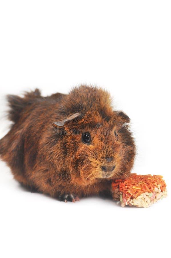 Brown guinea pig royalty free stock photos