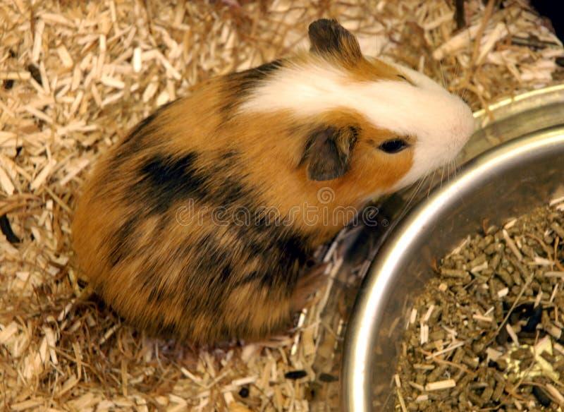 Brown guinea pig stock photo