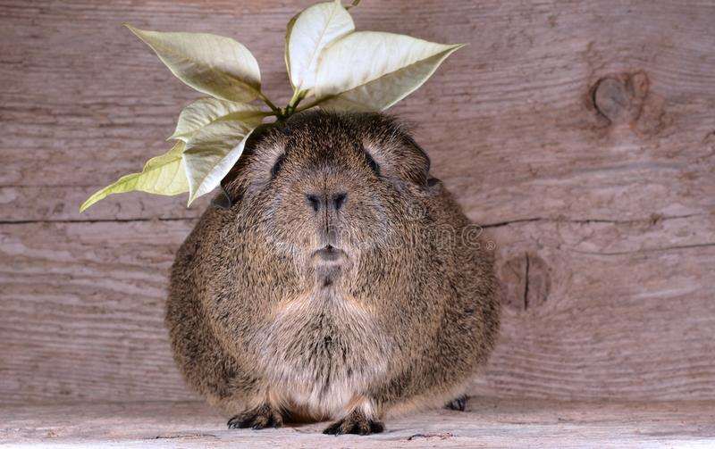 Brown Guinea Pig With Yellow Leaves on Top royalty free stock photos