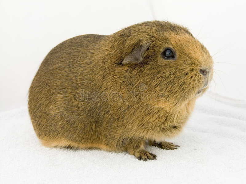 brown guineapig obrazy royalty free