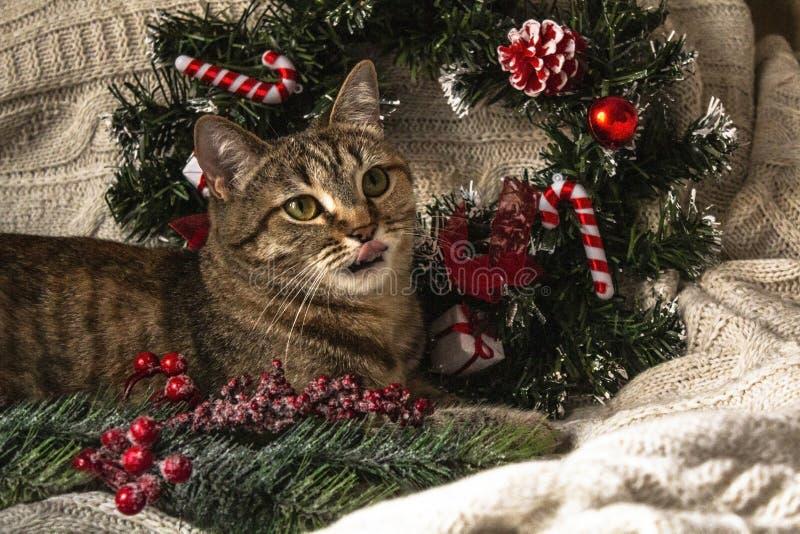 Brown ha barrato il gattino sul plaid beige di lana tricottato con il Natale si avvolge e decorazione del nuovo anno fotografia stock
