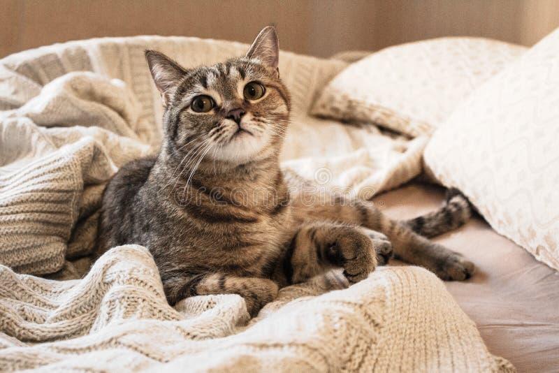 Brown ha barrato il gattino sul plaid beige di lana tricottato immagini stock libere da diritti