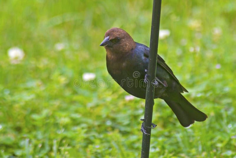 Brown ha diretto il Cowbird che guarda per l'alimento fotografie stock