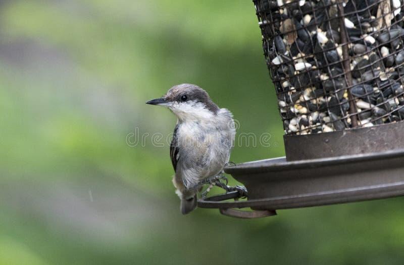 Brown ha diretto l'uccello della sitta all'alimentatore dell'uccello fotografia stock
