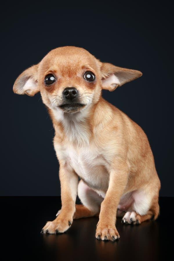 Brown ha spaventato il cucciolo della chihuahua immagine stock libera da diritti