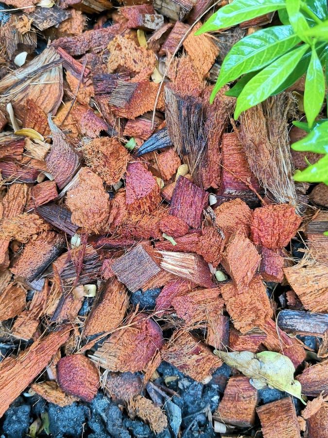 Brown ha tagliato il residuo a pezzi della noce di cocco per la soia della copertura, coltiva la pianta fotografia stock