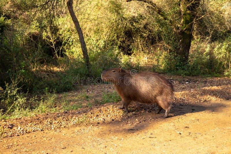 Brown-Haarfeldtier Säugetier Herbivore genanntes carpincho, das auf dem Gebiet und in den Schlammpfützen lebt lizenzfreie stockfotografie