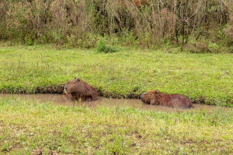 Brown-Haarfeldtier Säugetier Herbivore genanntes carpincho, das auf dem Gebiet und in den Schlammpfützen lebt stockfotos
