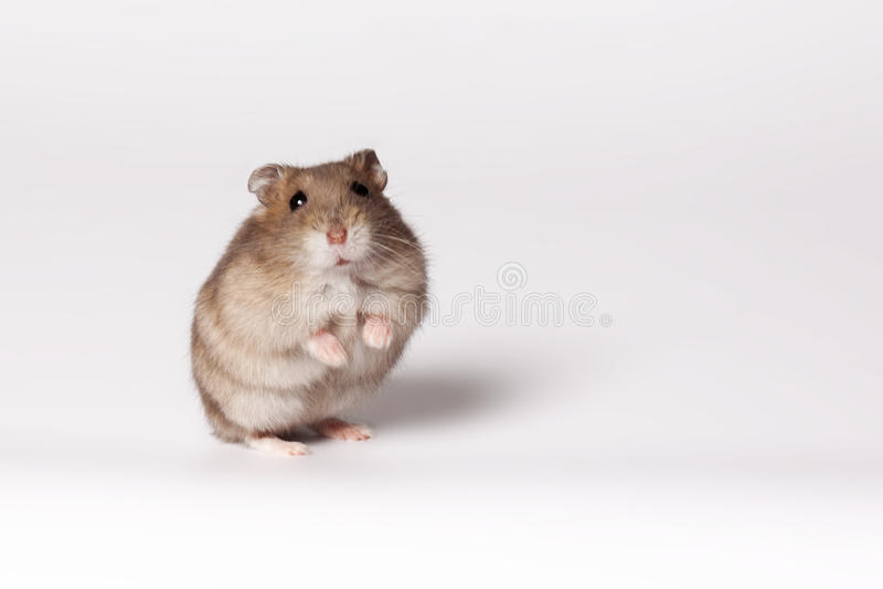 Brown-Hamster lizenzfreie stockfotografie