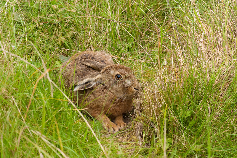 Download Brown Hare in its form stock photo. Image of cumbria - 11196308