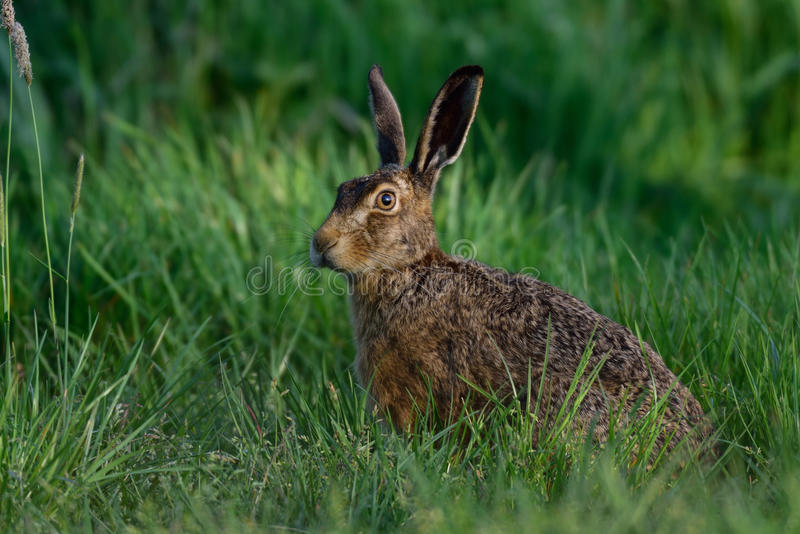 Brown hare looking watchful. Lepus capensis, germany stock image