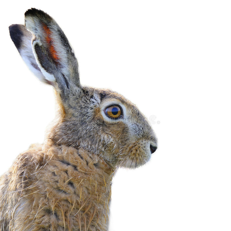 Brown hare portrait. Portrait of a brown hare isolated on white stock photos