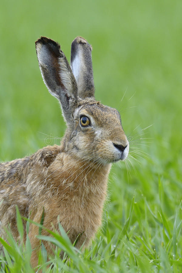 Brown hare portrait. Lepus europaeus, Germany, Europe stock photos