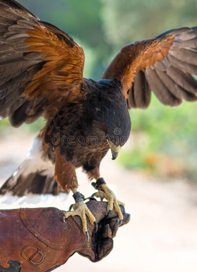 Brown hawk. Brown hawk on the hand of falconer stock images
