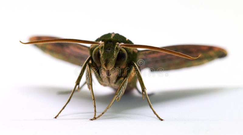 Brown hawk moth front view macro photo on white. Adult Sphingidae butterfly studio shot stock photo