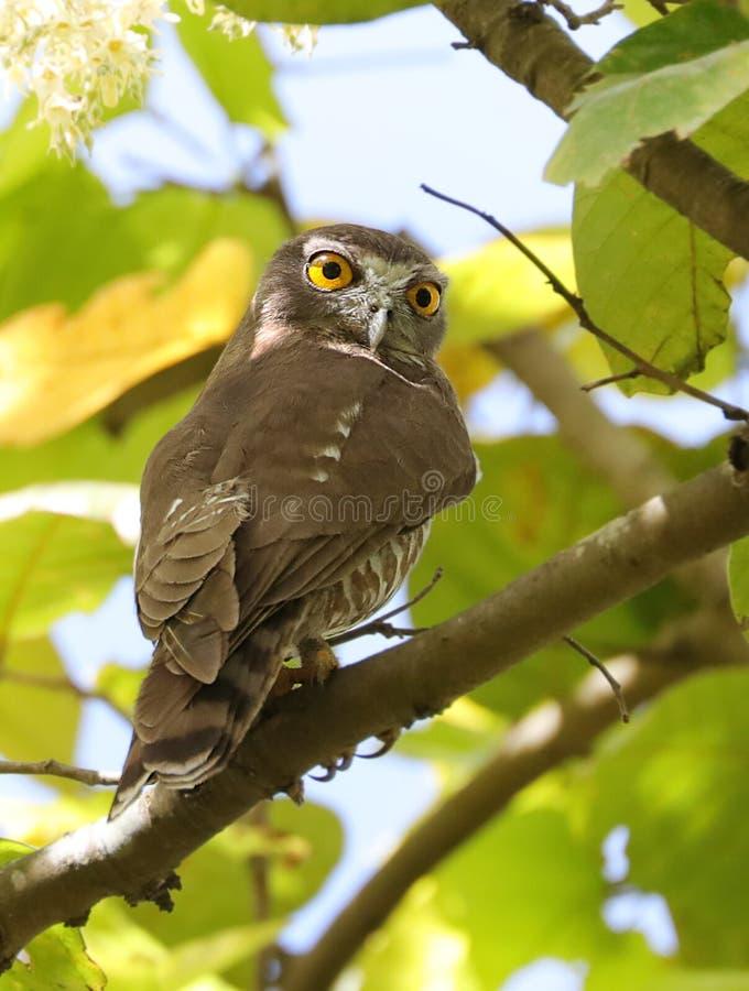 Brown hawk owl stock image