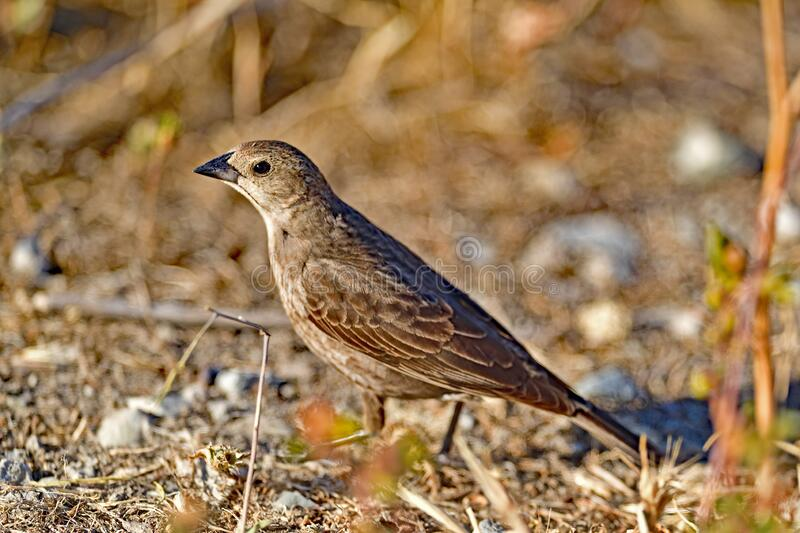 A Brown-headed cowbird -Female royalty free stock photo