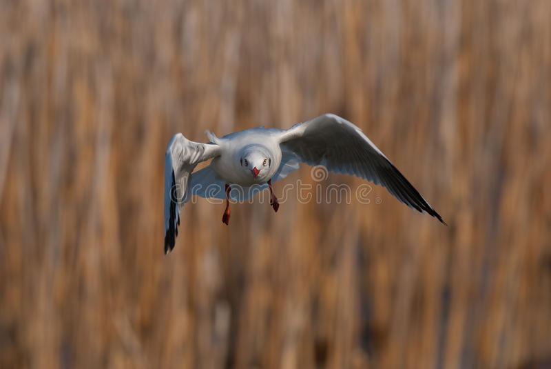 Download Brown-headed gull stock image. Image of nature, animal - 18558775