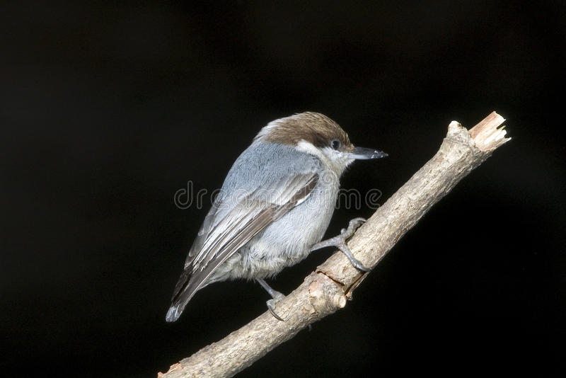 The Brown-headed Nuthatch (Sitta pusilla) royalty free stock photography