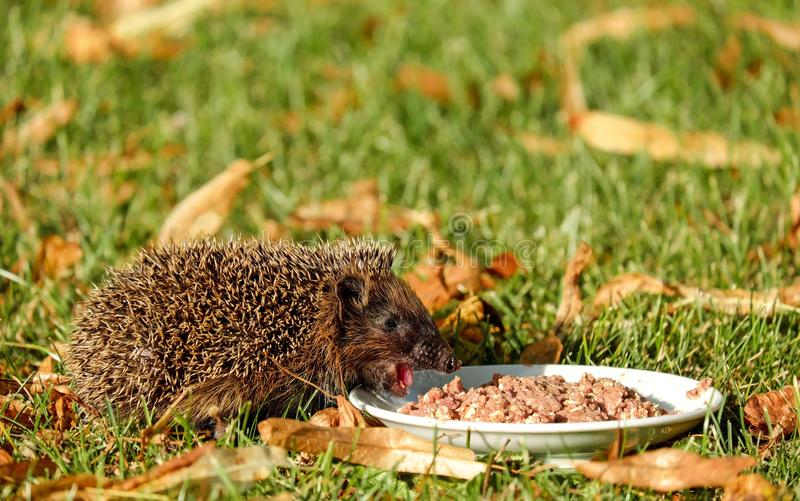 Brown Hedgehod About to Eat on White Ceramic Plate With Brown Dish on Green Grass Field stock photo