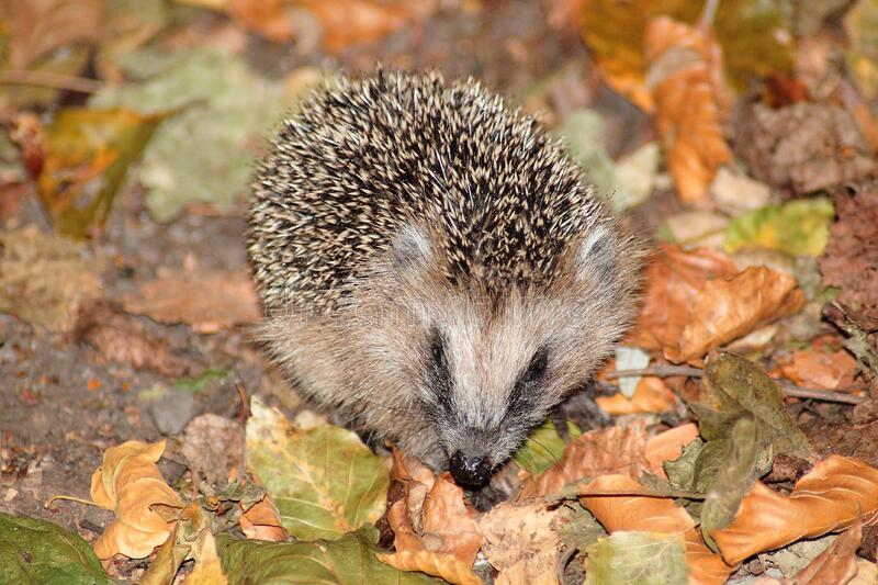 Brown Hedgehog on Brown and Green Leaves royalty free stock photography