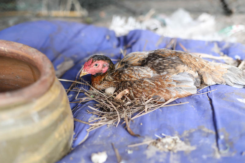 Brown hen with egg in the farm royalty free stock images