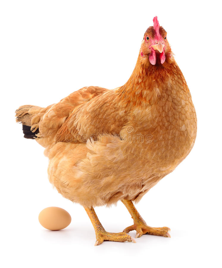 Brown hen with egg. stock photo