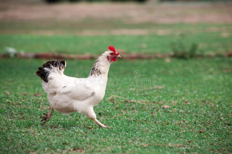Brown hen looking for food in the farm yard stock images
