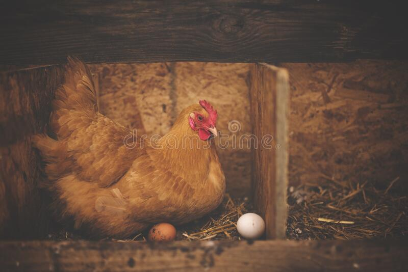 Brown Hen Near White Egg on Nest royalty free stock photography
