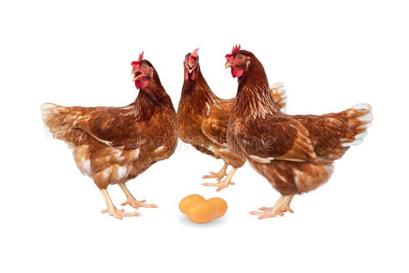 Brown-Hennen mit den Eiern lokalisiert auf weißem Hintergrund, Hühner lokalisiert auf Weiß lizenzfreie stockfotografie