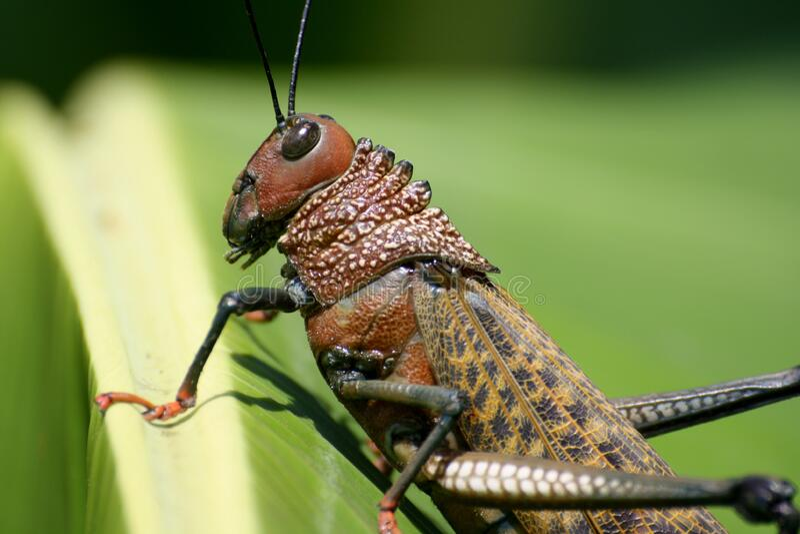 Brown-Heuschrecke auf Grünpflanze stockfotografie