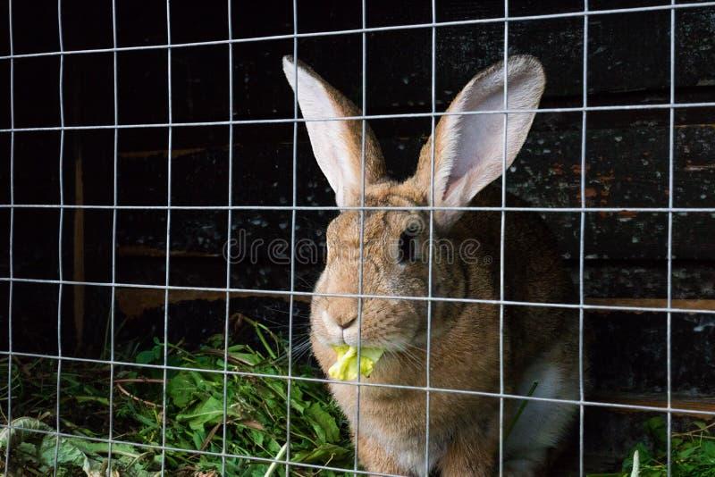 Brown Holland stutzen Kaninchen im Käfig stockfotografie