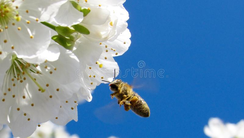 Brown Honey Bee Hovering Under White Petaled Flower During Daytime Free Public Domain Cc0 Image