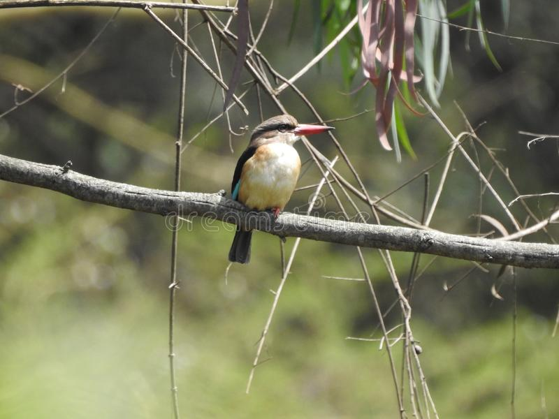Brown-hooded Kingfisher, Arusha, Tanzania royalty free stock images