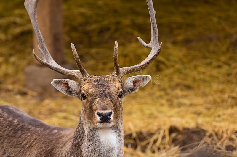 Brown horned deer close-up portrait on a background of land of the hill royalty free stock photography