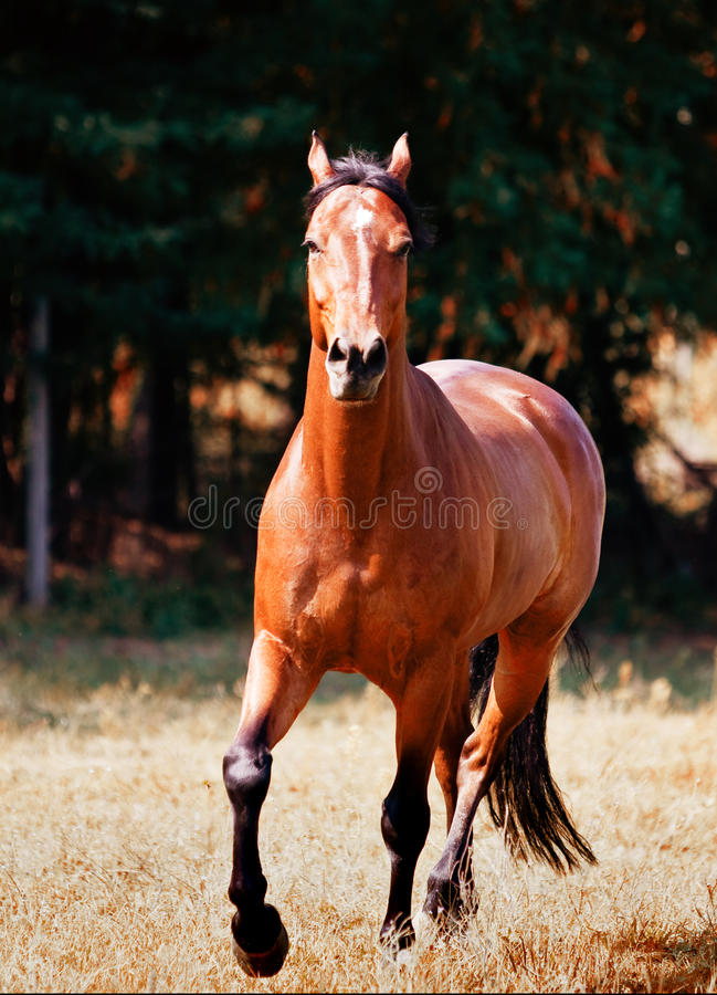 Download Brown horse stock image. Image of equestrian, running - 10652675