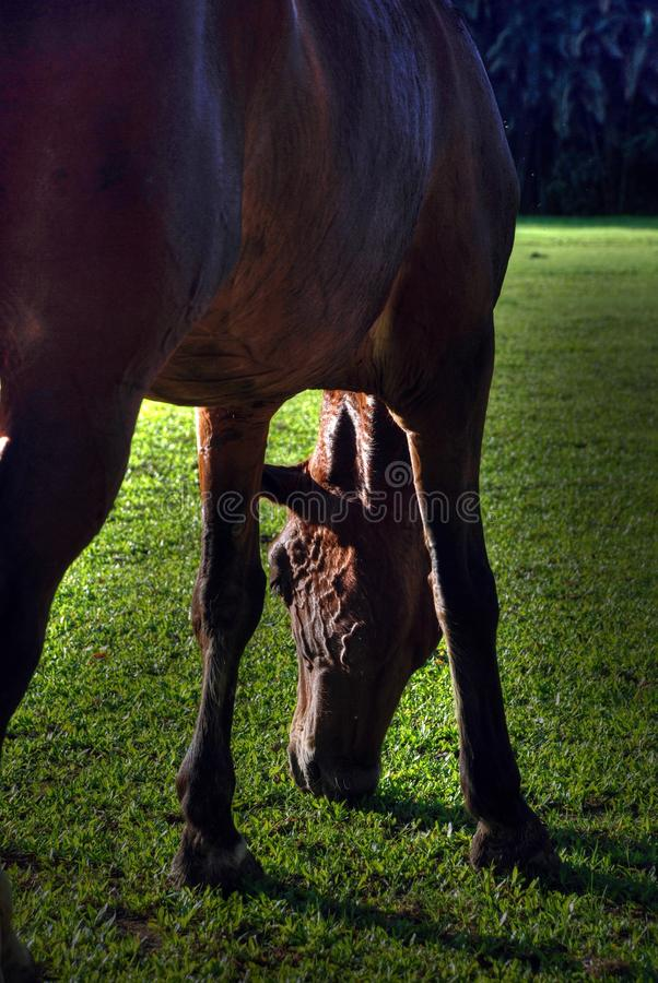Download A brown horse stock photo. Image of agriculture, green - 11347068